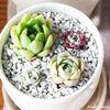 多肉植物 沙羅姫牡丹 の 変化