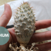パキポディウム・グラキリス実生の植え替え2021