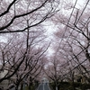 桜坂の桜を撮ってきた