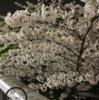桜よ、もってくれー!