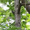 いよいよ野鳥の少ない時期に(大阪城野鳥探鳥 20190616 6:00-10:00)