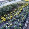 花の名前:ホソバヒイラギナンテン