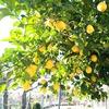 ポルトガルの庭と言えば、レモン!