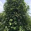 #アンコールワット個人ツアー(474) #コーケー遺跡群付近にて胡椒農園とドリアン農園