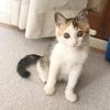 遊ぶの大好き♡3か月子猫のモッピちゃん 10/25里親様募集