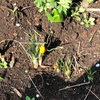 クロッカスが咲いた