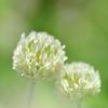 シロツメクサが咲いて
