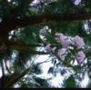 三徳山本坊三佛寺奥の院投入堂行者道に咲く石楠花