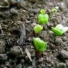 菜園に芽がでてきた。「ラデッシュ…たぶん ^ ^。」