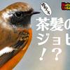 1102【ジョウビタキの鳴き声と、色が変な♂!?】ジョビ子まったり、カイツブリにウグイスの鳴き声、エナガヒヨドリシジュウカラ、チョウセンアサガオの実【 #今日撮り野鳥動画まとめ 】 #身近な生き物語