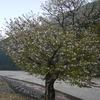 桜・ 桜の花筏