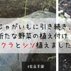 【家庭菜園】じゃがいもに引き続き、新たな野菜の植え付け!オクラとシソ植えました!