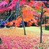2016年11月21日~23日、京都の永観堂に行って来ました(今年の京都は全体的な見頃はありませんが、永観堂で、数年に一度の絶景(「落ち葉」紅葉)の見頃が続いています。