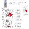 バレエノート(4)股関節の外旋を生み出す筋肉について☆お家バレエ入門応援企画 - 印刷OK!