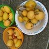 (家庭菜園)枇杷(ビワ)の収穫なのです