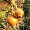 玉ねぎを収穫し天日干し!