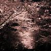 新潟・高田城址の夜桜🌸