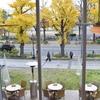 横浜の秋は銀杏さんぽ。マリンタワーから山下公園、日本大通りまで