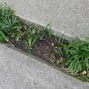 庭の草取りから解放されたはずがタマリュウあるから結局草取り! タマリュウをバラシて増やす作戦