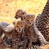 レア!サバンナで野生の赤ちゃんチーターに会えた ケニア サンブル保護区