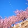 まだ桜は終わりじゃない!天空の庭の1000本のしだれ桜が圧巻の美しさ!