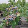 新鮮なブルーベリーが食べ放題!須坂市「森の畑 信州ブルーベリー園」
