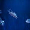 オレオクロミス・タンガニカエOreochromis tanganicae