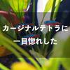 【シラチャでアクアリウム】28日目。水草買いに行ったらカージナルテトラ買ってた。