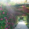【スカイパーク】のバラが見頃を迎えたよ!ワンコとお散歩