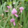 砂利でも育つピンクの花の植物  「外来種」アレチヌスビトハギ