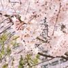 【昼ラン】近所のしだれ桜も満開で、春を感じるラン