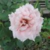 「まつこの庭」の初秋のバラコレクション