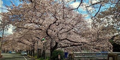 宇治川の桜、本日勝利宣言キタ━━━━(゚∀゚)━━━━!! でも複雑な心境でございます。