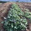 サトイモに除草と水やり