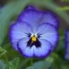 冬季に美しい花をさかせるビオラ-分類法の勉強