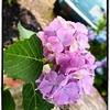 阿弥陀寺の紫陽花:3