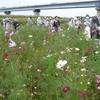 コスモスの花畑、水戸藩主の屋敷… 千葉・松戸を歩く