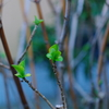 春近し…桜の花と紫陽花の新芽