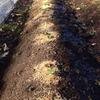 ゴボウの霜よけ対策と玉ねぎ定植