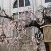 2月9日・日曜日&2月10日・月曜日 【うんちくま30:造幣局の桜19】