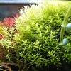 伸びすぎと新芽の展開と綺麗な緑