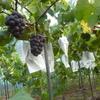 葡萄の販売