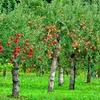 10月11日は「リンゴの唄の日」その3~利用者から覚えた歌特集(*´▽`*)~