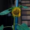 私の生まれる前のレンズで撮った向日葵