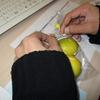 レモンの収穫・出品のお知らせ
