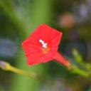 縷紅草~ルコウグサ~