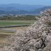 4/16 しらさぎと桜