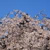 妙典寺シダレ桜