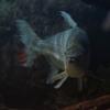 ゴライアスタイガーフィッシュ Hydrocynus goliath