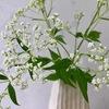 白い秋の花 オトコエシ(男郎花)